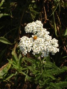 Achilla Millefolium
